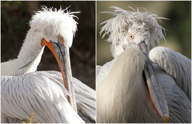 15 Birds With Snazzier Hairdos Than You | Mnn – Mother In Mohawk Haircuts With Curls For A Feathered Bird (View 15 of 25)
